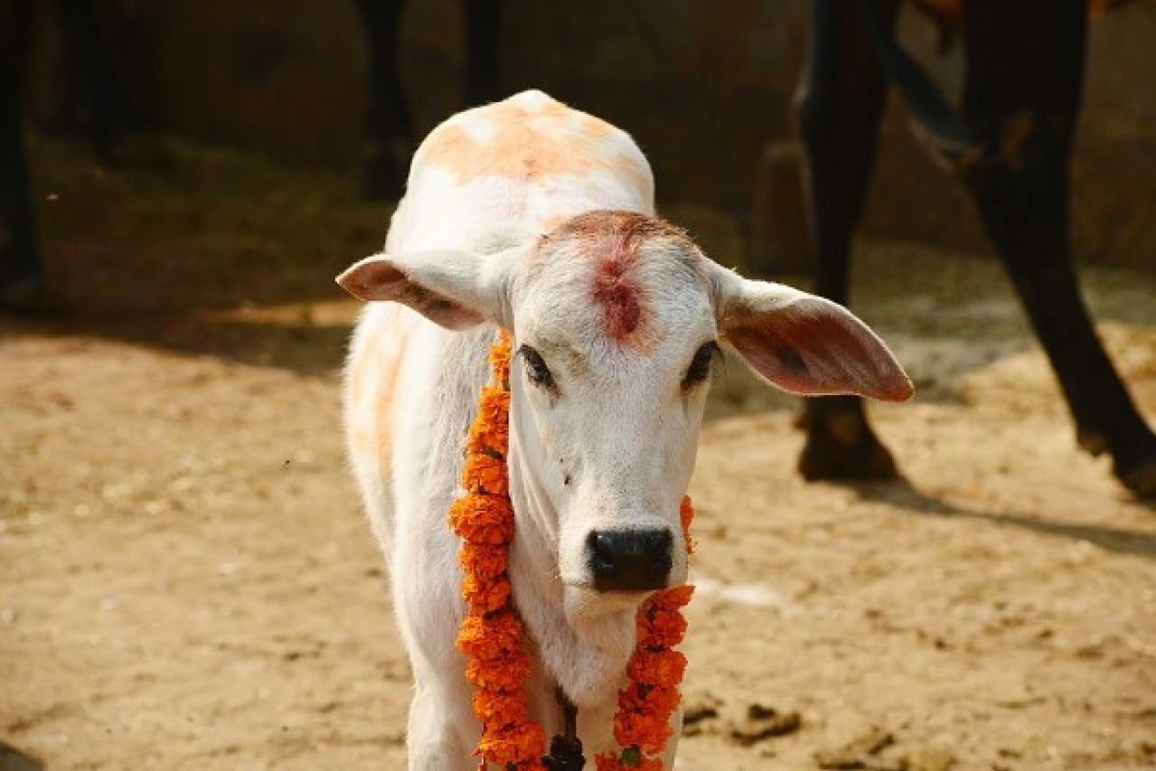 Representative image of a cow (Ramesh Pathania/Mint via Getty Images)