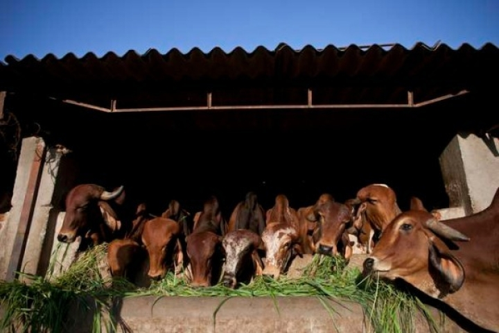 Going Digital For Cow Welfare, Madhya Pradesh Government To Launch Online Service To Adopt Cows