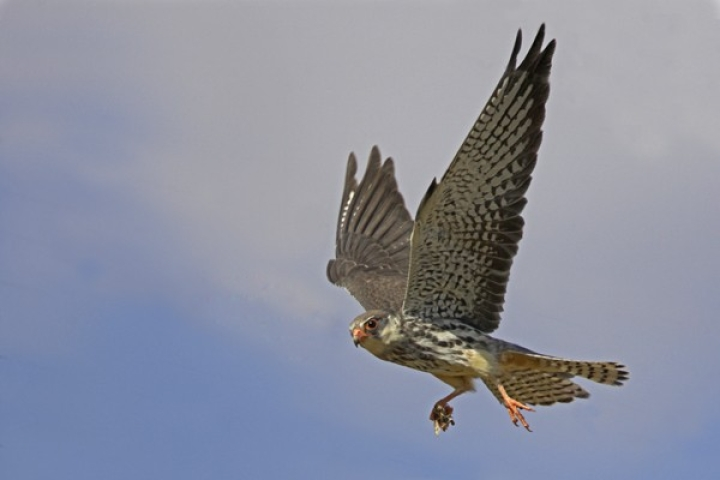 The Amur Falcon: A Remarkable Story Of Nagaland's Flight To Conservation