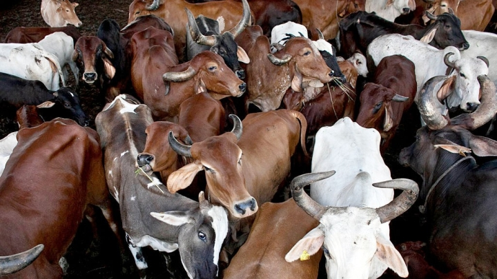 Illegal Cow Smuggling From India To Bangladesh Down By 96 Per Cent In 2018: Figures Revealed By Bangladesh