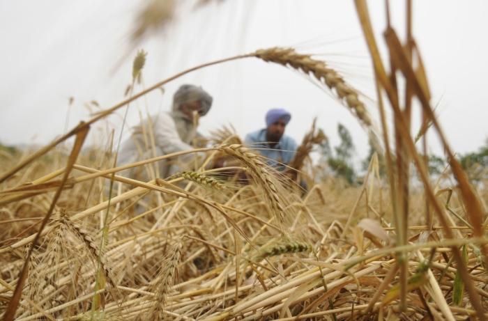 Diwali Bonanza For Farmers: PM Modi-Led Cabinet Announces Decision To Hike MSP For Rabi Crop