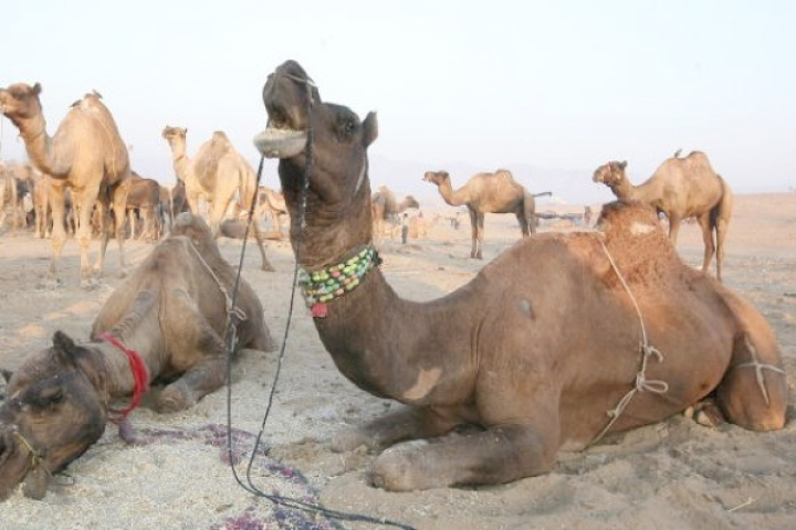 'Camel Rakshaks': 52 Camels Being Taken For Slaughter Illegally Rescued, Smuggling Racket Busted In Rajasthan