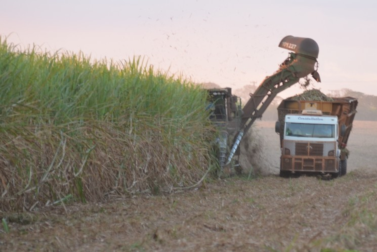Sugarcane being cut at a farm in Ribeirao Preto, northeast of Sao Paula in Brazil. (M R Subramani)