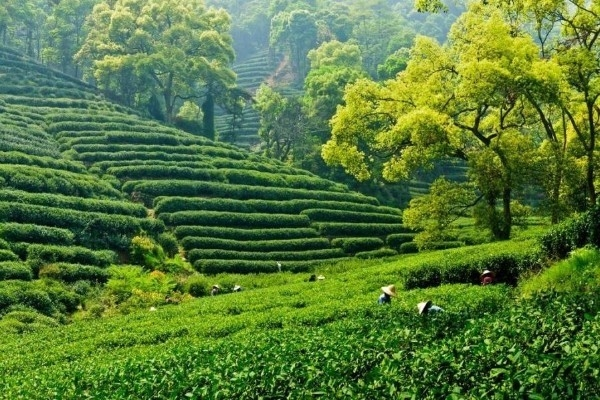 Rise In 'Tea Spirit' As Major Players Look To Take Advantage Of Tourism Potential