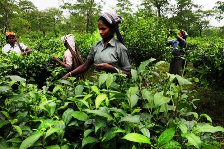 Assam's Big Financial Inclusion Success Story: Over 7 Lakh Tea Garden Workers Part Of Banking System Post DeMo