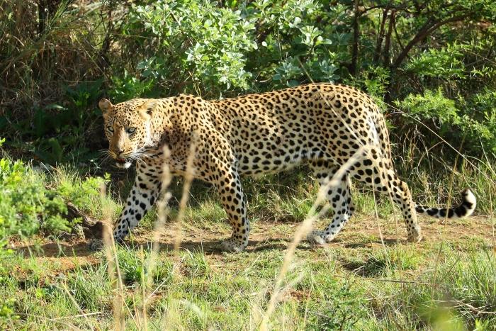 Real World Too Cruel For Ahimsa? Leopard Kills Meditating Buddhist Monk In Maharashtra Forest