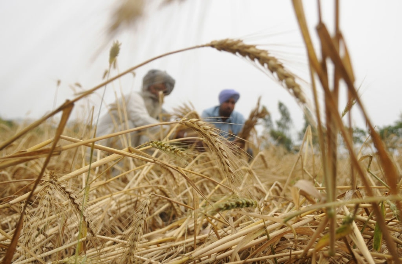 Wheat farmers in India. (Bharat Bhushan/Hindustan Times via Getty Images)