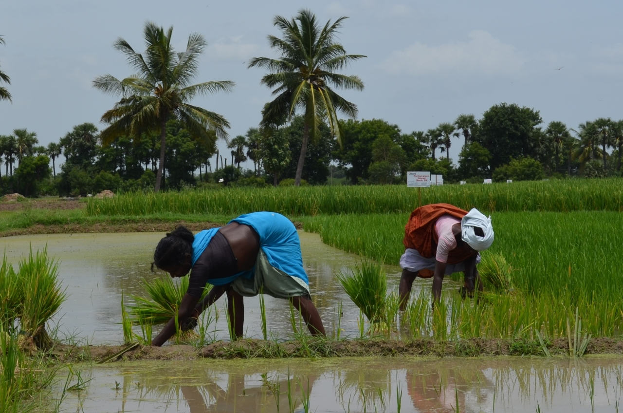 Paddy being transplanted on a farm in Vandavasi in Tamil Nadu's Tindivanam district. (M R Subramani)