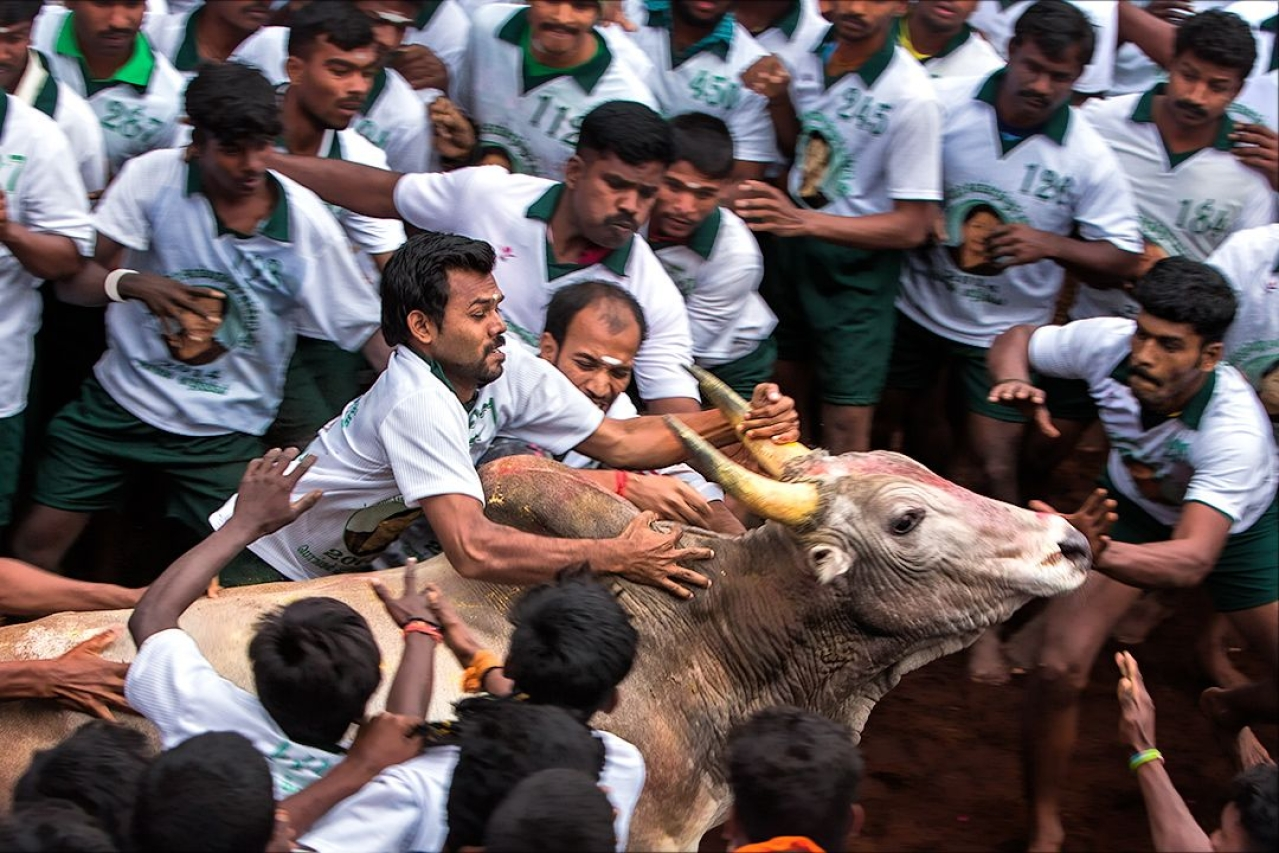 Youngsters try to tame a bull at a jallikattu event