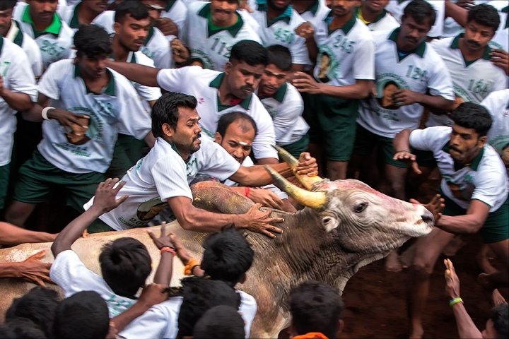 The Ugly Side Of The Traditional Tamil Sport Jallikattu