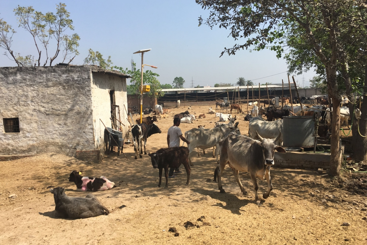 A temporary cow shelter in Bisada.