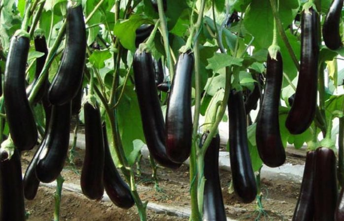 Haryana Finds Itself At Centre Of A Bt Brinjal Controversy But Real Culprit  Might Be Bangladesh