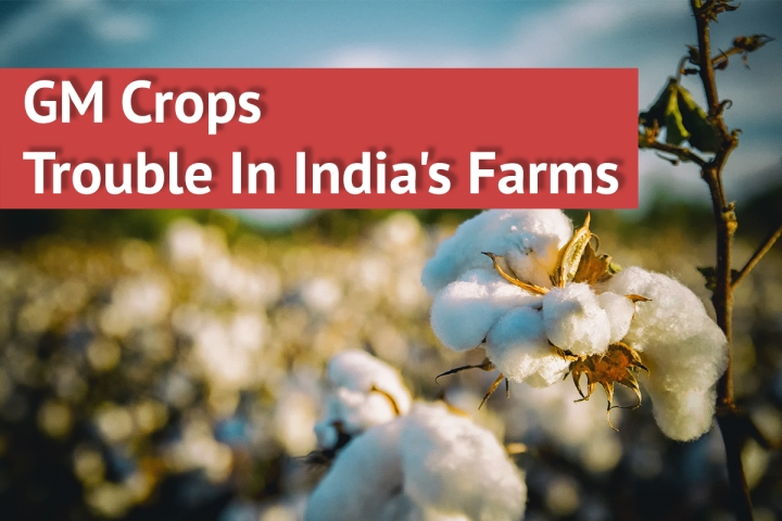 GM Crop Cultivation: What's Making India's Farms Seem Like Genetic Minefields?