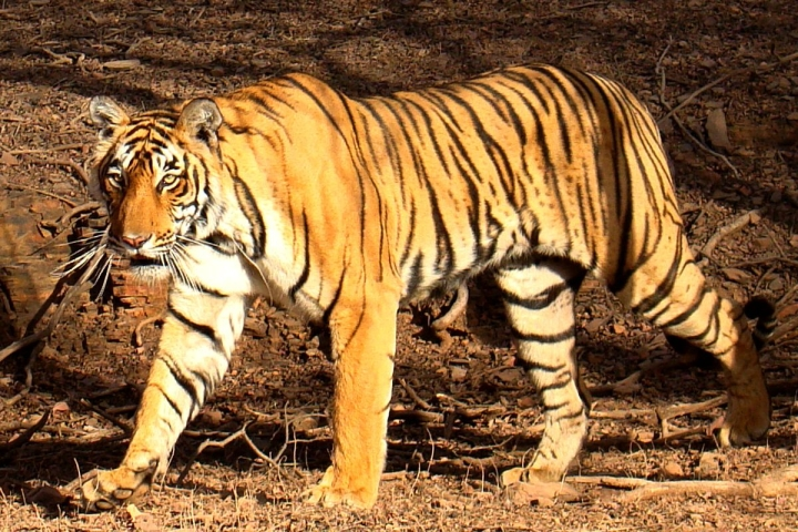 Tiger Country: India Sees Massive 33 Per Cent Rise In The Big Cat's Population, Now Stands At 2,967