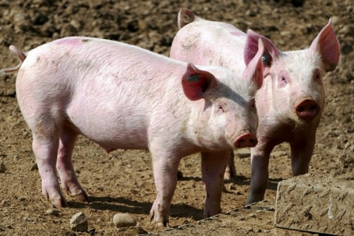 'Pigflation' Threat To Chinese Economy As Pork Prices Soar Due To Outbreak Of African Swine Fever