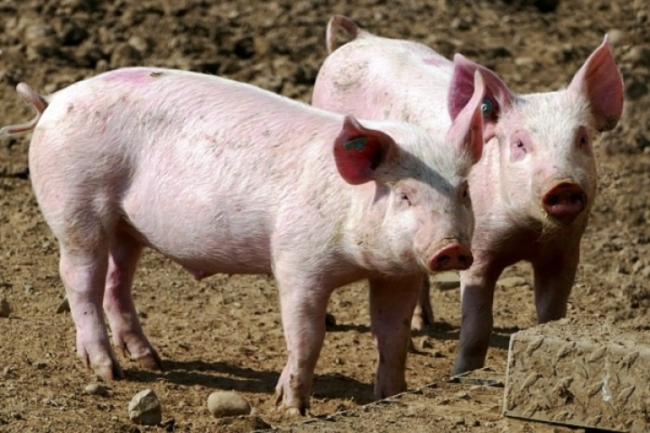 First Instance Of African Swine Flu In India; Nearly 2,500 Pigs Killed In 306 Villages In Assam