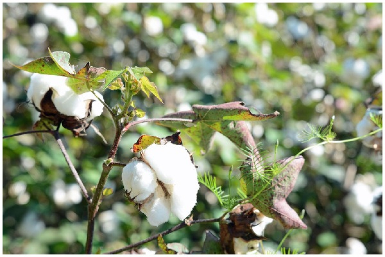 "Cotton plant, Ware County, Georgia, US (<a href=""https://commons.wikimedia.org/wiki/User:Bubba73"">Bubba73</a>/Wikipedia)"