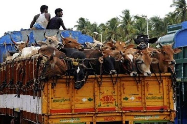 Decoding The Desperation Of Bangladeshi Cattle Smugglers
