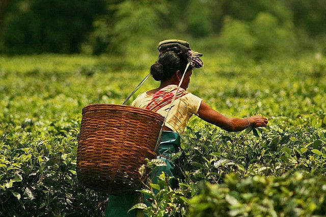 How Assam Tea Gardens Can Turn Their Days Around