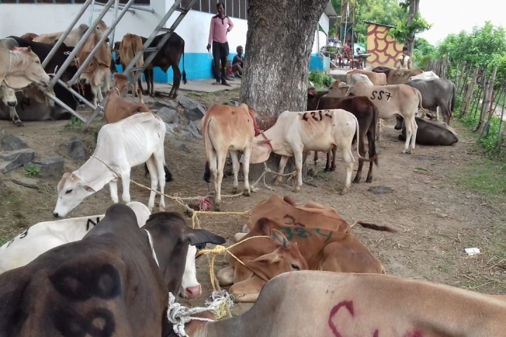 Cattle Smugglers Abduct Girl Along With Animals In Uttar Pradesh: Report