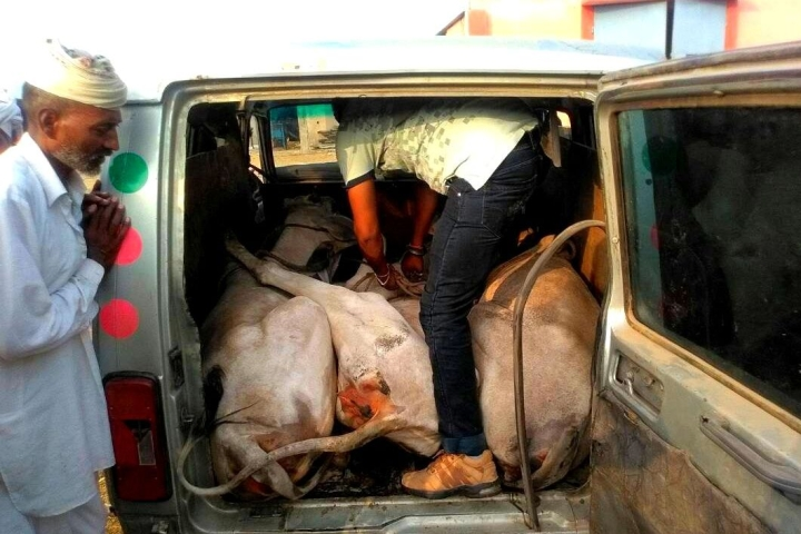 800 Cases, Zero Conviction: Calling Out The Bluff On Haryana's 'Tough' Anti-Cow Slaughter Act