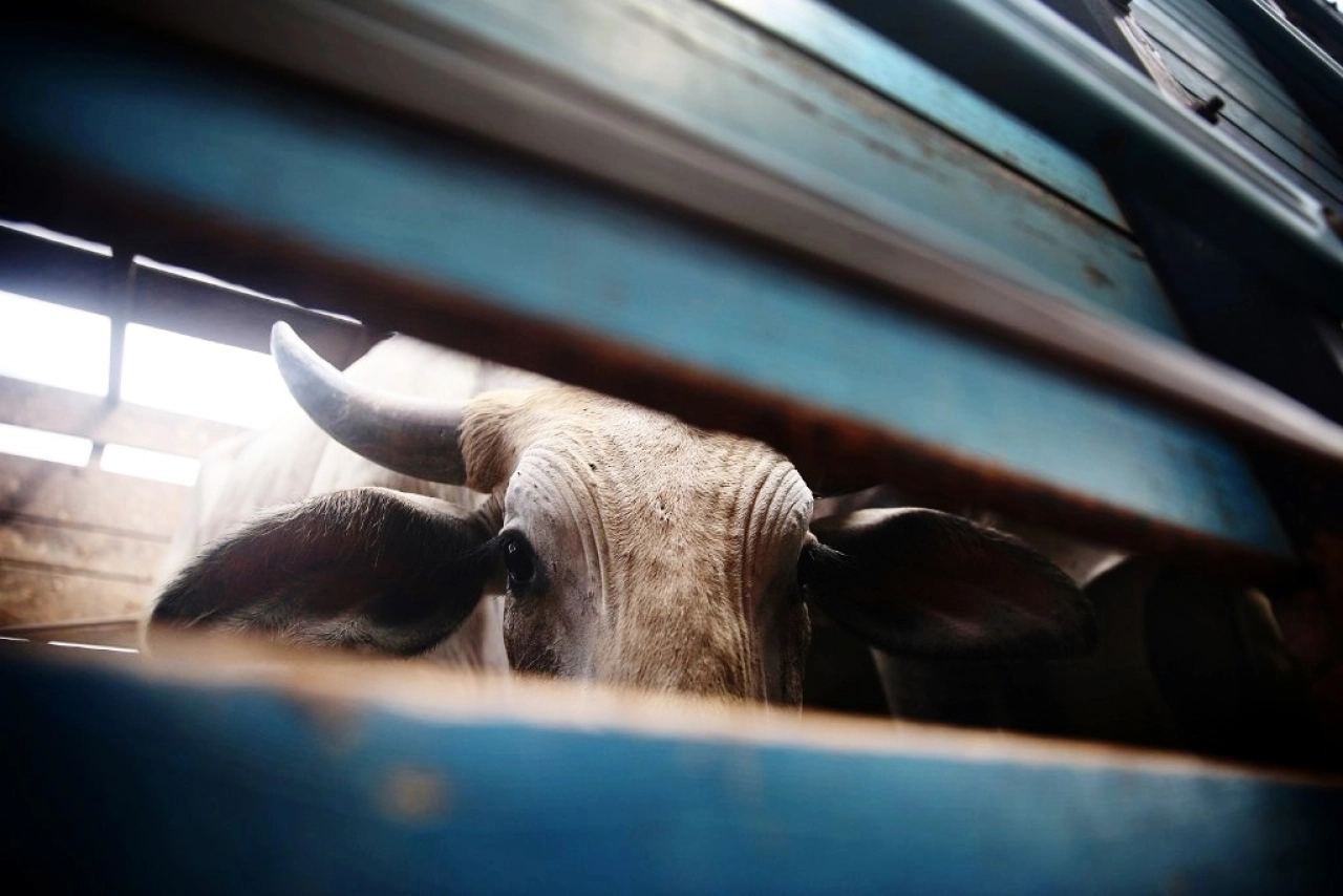 Cow smuggling in Haryana. (Mario Tama/Getty Images)