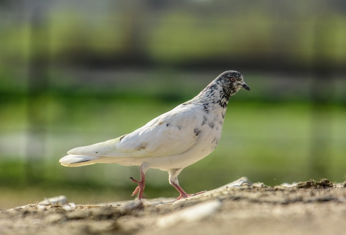 Pakistani 'Spy' Pigeon Carrying Coded Message Captured Along International Border In Kashmir