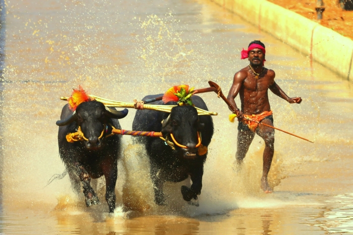 Kambala's 'Usain Bolt' Jockeys: Sprinting In Slush To Save A Cultural Tradition