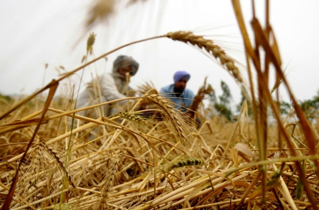 India Is Set To Harvest Record Wheat Crop This Year, But There's Not-So-Good News