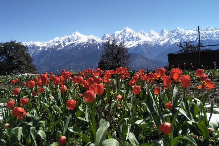 Uttarakhand's Own Story: Why This New Tulip Garden In Pithoragarh Is Not Just About Cultivating A Flower That Also Grows In Kashmir