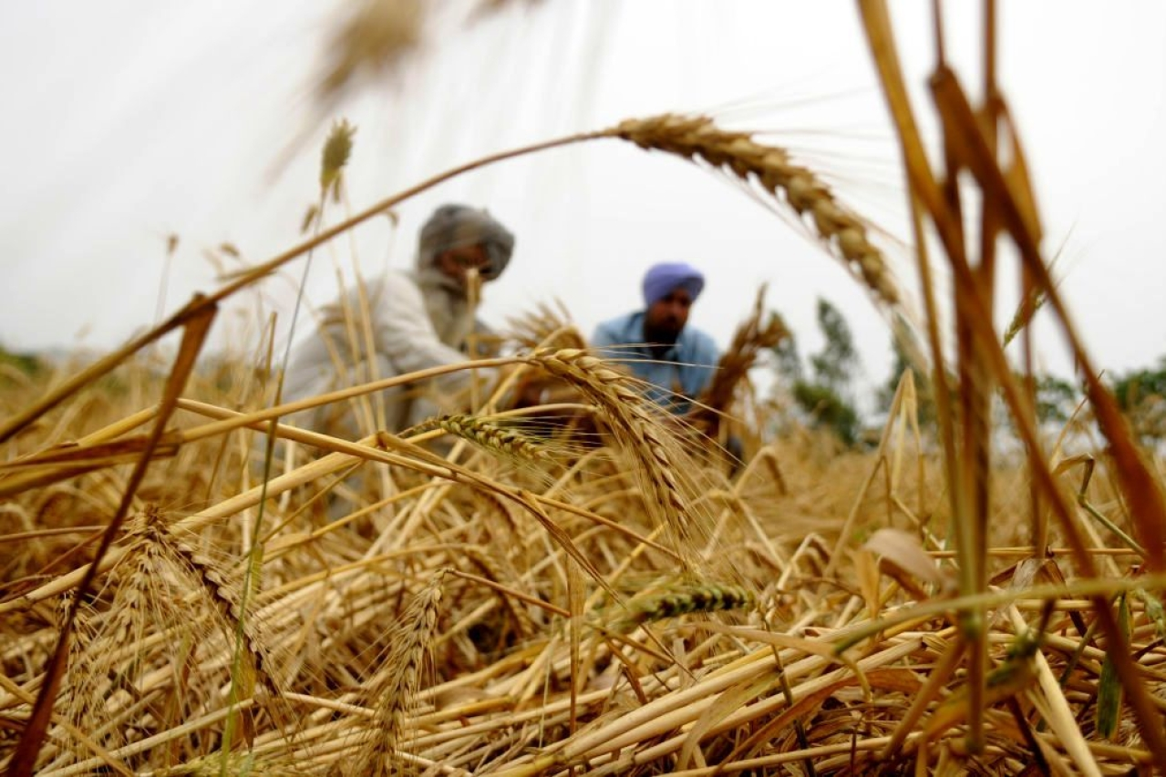 Wheat farmers in Punjab. (Bharat Bhushan/Hindustan Times via Getty Images)