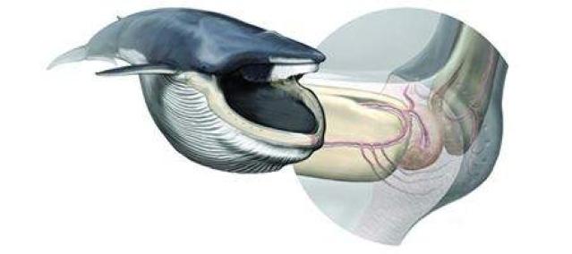New sensory organ discovered in whales