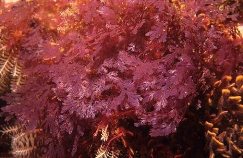 How to transform seaweed into biofuel
