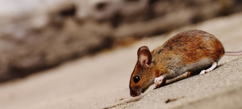 4 Safe Tactics For Organically Keeping Rats Away From Your Home