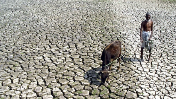 A farmer walks with his hungry cow through a parched paddy field.
