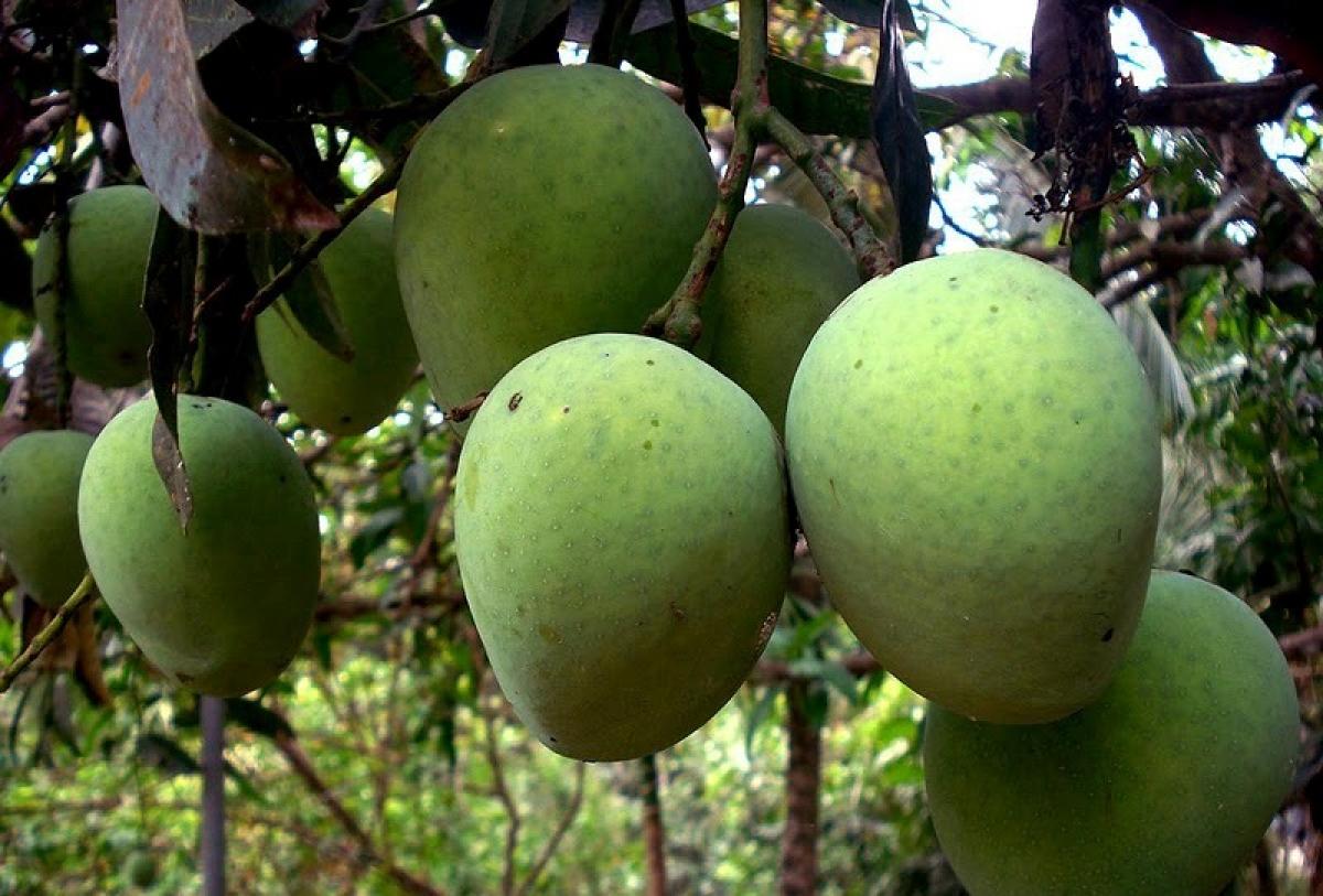 Image result for mango season in kerala