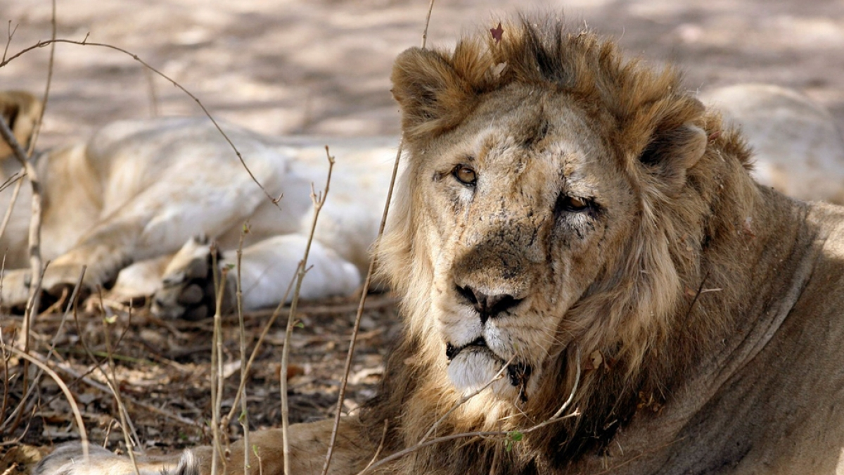 An Asiatic lion rests in Gir forest.