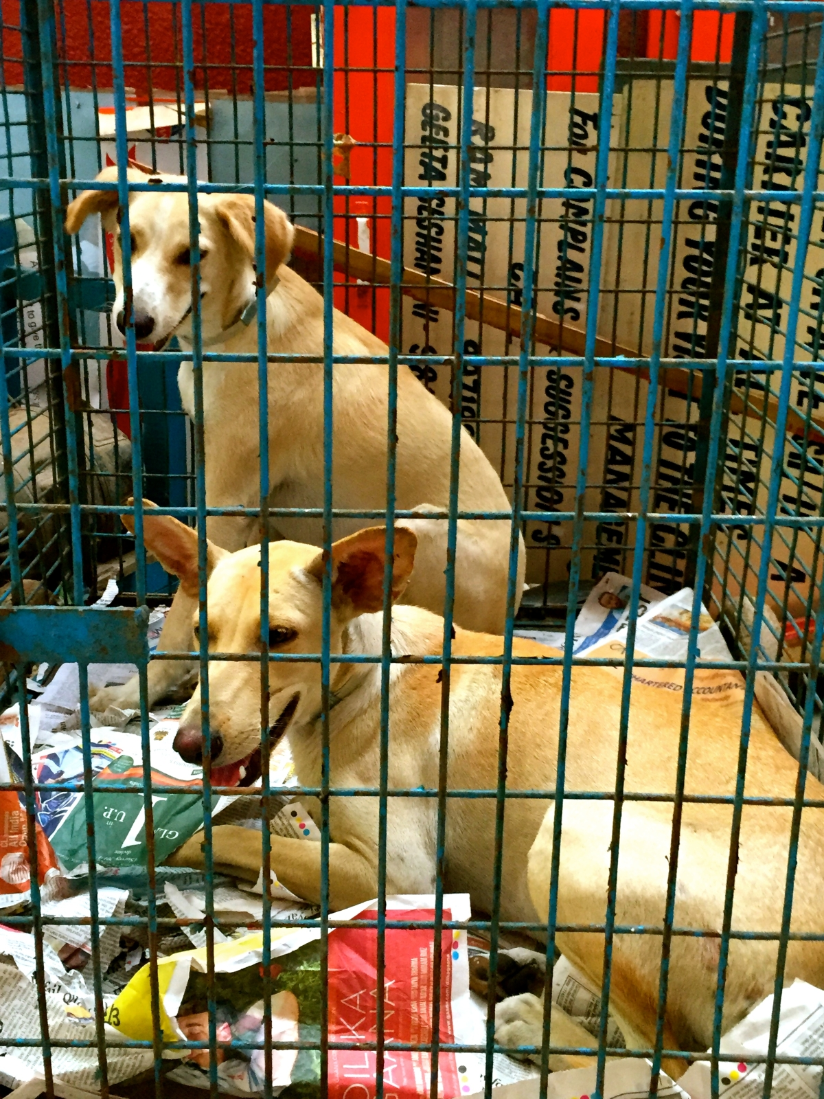 Animal Rescue NGO Friendicoes in Debt: No 'Ahimsa' for