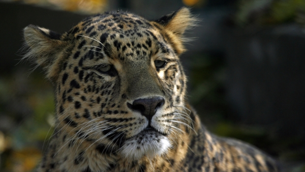 A leopard rests inside its enclosure in Dachigam National Park on the outskirts of Srinagar on 12 November 2009. Photo used for representation.