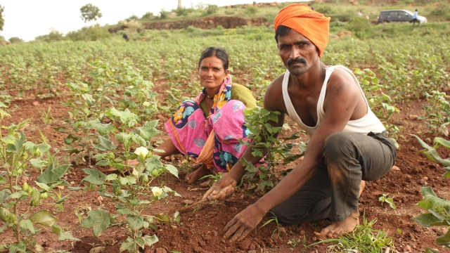 At Hivarshinga village in Beed's Shirur taluk, Rajendra Abaji Shinde, 41, a double graduate in arts and physical education, could not protect his cotton crop of six acres from the dry spell. (Photo: Vivian Fernandes)