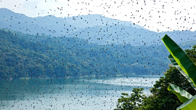 A flock of Amur falcons fly over the Doyang reservoir in Nagaland. (Photo Courtesy: Ramki Sreenivasan/<b>The Quint</b>)