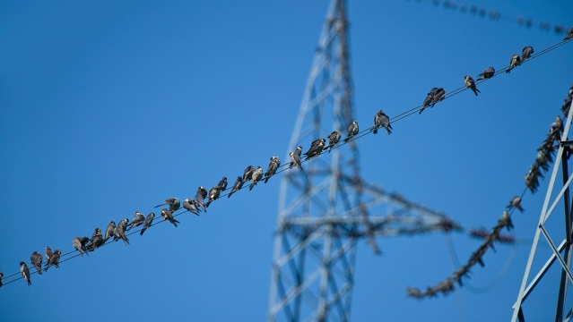 Amur falcons roost on an electric wire. (Photo Courtesy: Ramki Sreenivasan/<b>The Quint</b>)