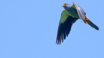 An Amur falcon hovering in the air. (Photo Courtesy: Ramki Sreenivasan/<b>The Quint</b>)