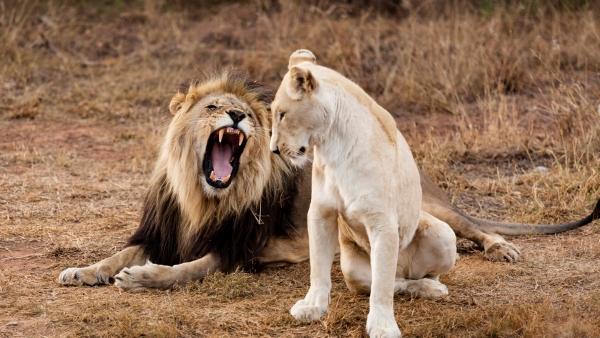 A pair of male and female lions. (Photo: iStockphoto)