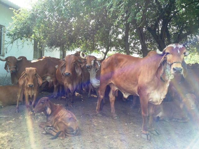 A hospital in Gujarat has  discovered invaluable use of the cow's urine, milk and other substances in the treatment of cancer! (Photo Courtesy: Girivihar Trust)