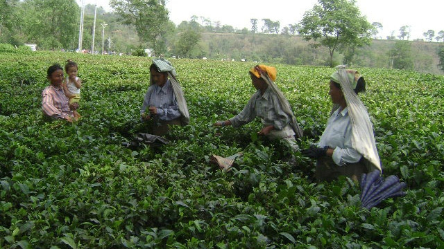 The tea industry is labour intensive and collectively employs around half-a-million people, including ancillary workers in West Bengal. (Photo: Sudipta Chanda)