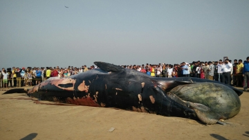 Dead Bryde's whale on Juhu beach. (Photo: <b>The Quint</b>)