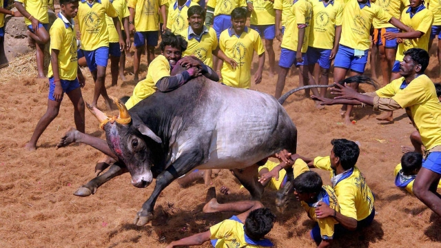 The Tamil sport of Jallikattu. (Photo: PTI)