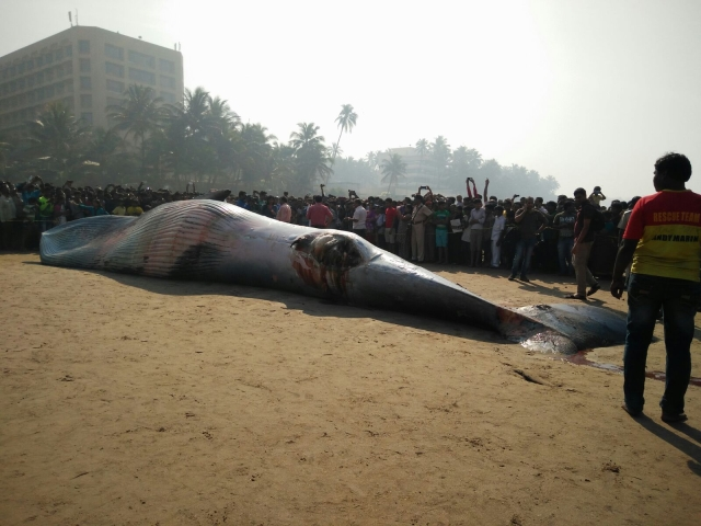 Cranes have been called in to remove the whale (Photo: <b>The Quint</b>)
