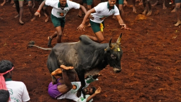 Jallikattu is organised during Pongal. (Photo: Reuters)